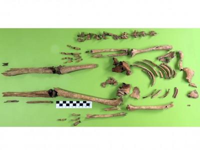Reconstrucció de les restes esquelètiques de Rabassats al laboratori d'antropologia.